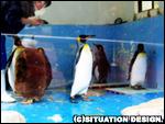 キングペンギン。アクリル板越しなので映りが悪い…。