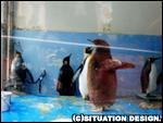 キングペンギンのヒナが羽ばたいているところ。
