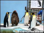 やっと外に出てきたキングペンギンたち。