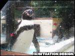 アクリル板越しにこちらを見つめるフンボルトペンギン。