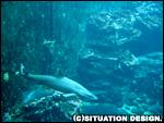 サメが猛スピードで泳ぐ。